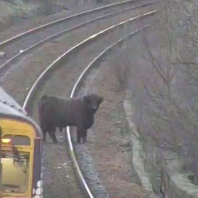 """""""Рогат"""" инат: Крава спря влаковете в Шотландия"""