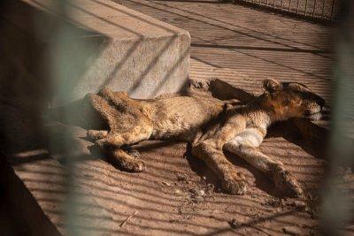 След като прогонихме Терез и Масуд - спасяваме лъвове в Судан