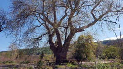 Във Варна расте едно от най-старите дървета у нас