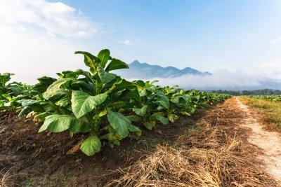 Производителите на тютюн ще получат над 76 млн. лв. преходна национална помощ