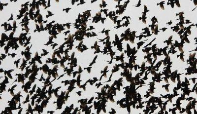 Черни птици сеят паника в Хюстън