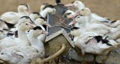 Първо огнище на птичи грип в България