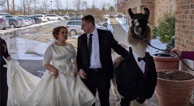 Зевзек заведе лама на сватбата на сестра си, облече я в костюм (ВИДЕО)