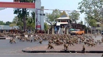 Маймуни нападат заради коронавируса