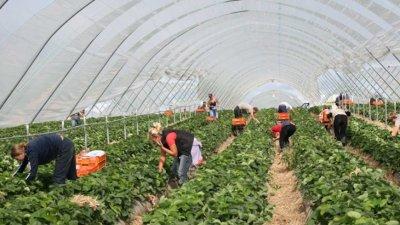 Очаквано: Недостиг на работници в британските ферми
