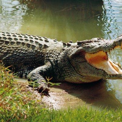 Крокодил изяде мъж, нарушил карантината