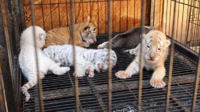 В Мексико кръстиха тигър Ковид