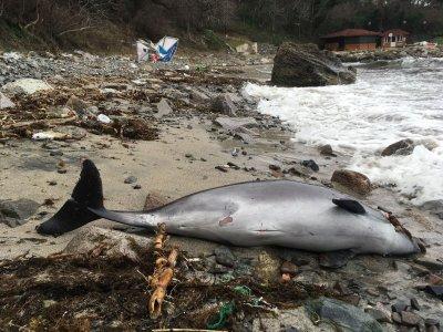 Трупове на бебета делфини осеяха Южното Черноморие (снимки 16+)