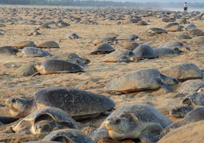 Морски костенурки окупираха пустите плажове (СНИМКИ)