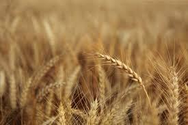 Италия чака българи да й оберат реколтата