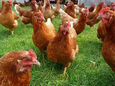 Птичи грип в Асеновград! Избиват 72 000 кокошки