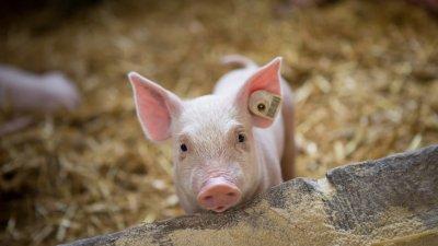 Пекин успокоява: Щамът на свинския грип не е нов и не заразява лесно