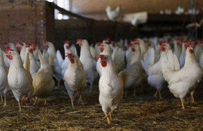 БАБХ избива 174 000 здрави птици