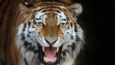 Сибирски тигър уби пазач в зоопарк в Швейцария