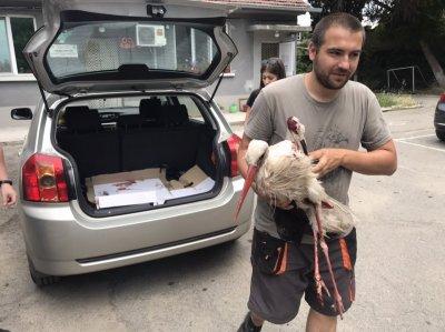 Природозащитници спасиха прострелян щъркел