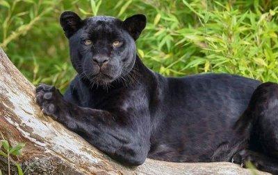 Черна пантера вдигна на крак френската полиция