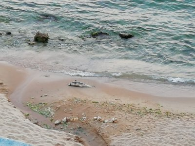 Мъртъв делфин край Св. св. Константин и Елена