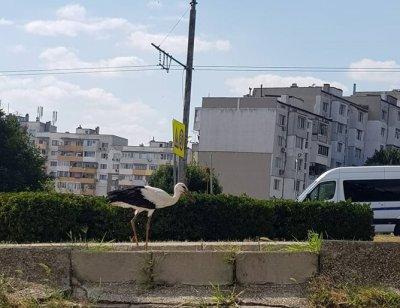 Щъркел се разходи из Варна (СНИМКА)