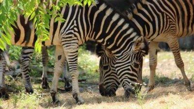 Столичният зоопарк се сдоби с нови зебри