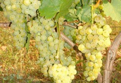КРИЗА: Няма кой да купува гроздето ни