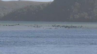 Трагедия: 380 от заседналите край о. Тасмания китове са мъртви