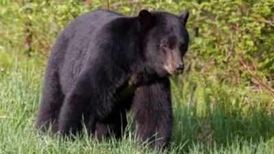 Недоволна мечка свали дрона на фотограф