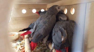 Британски зоопарк наложи изолация на псуващи папагали