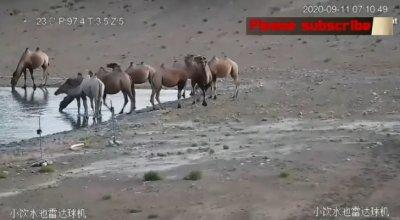 Бяла камила се появи в Китай (ВИДЕО)