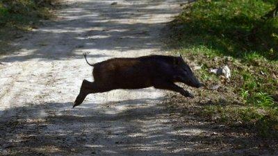 Оттеглиха идеята армия и полиция да отстрелват диви прасета