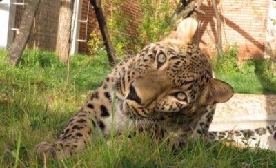 Изненада! Персийски леопард заживя в София