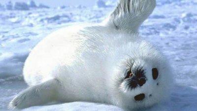 7000 бебета тюлени измират в Намибия