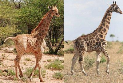 И сред жирафите има пигмеи
