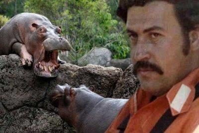 Хипопотамите на Пабло Ескобар превземат Колумбия